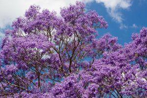 Cómo sembrar un árbol de Jacarandá