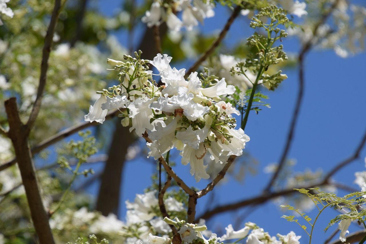 Flores blancas Jacarandá
