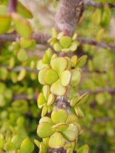 riego del árbol de jade
