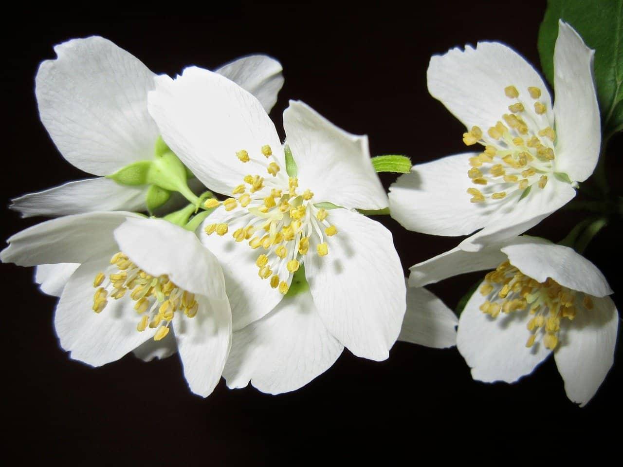 Flores trepadoras Jazmín