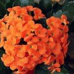 Lista de [16] Plantas de Interior que Florecen Todo el Año