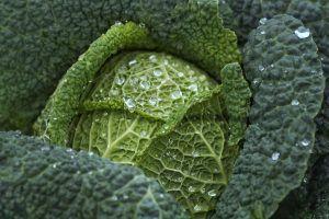 Sembrar Kale: cómo hacerlo