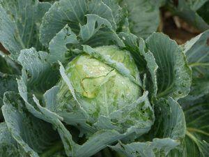 Cómo cosechar kale