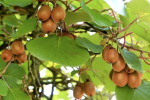 Poda de fructificación y rejuvenecimiento del kiwi