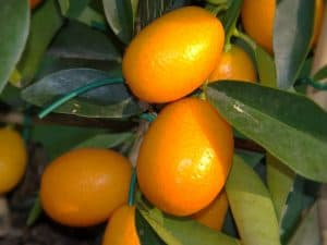 Cómo sembrar kumquats