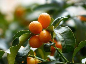 Cuándo es mejor llevar a cabo la poda de kumquats