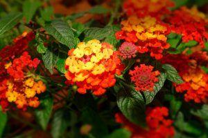 Cultivo de flores de lantana