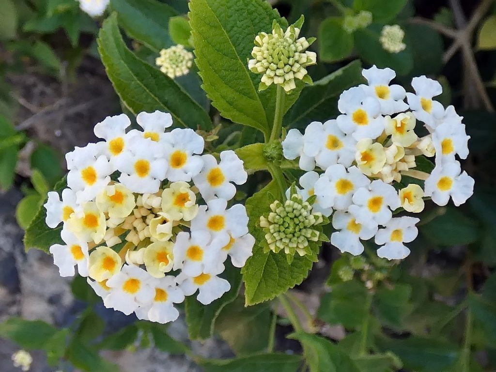 Flores blancas lantanas