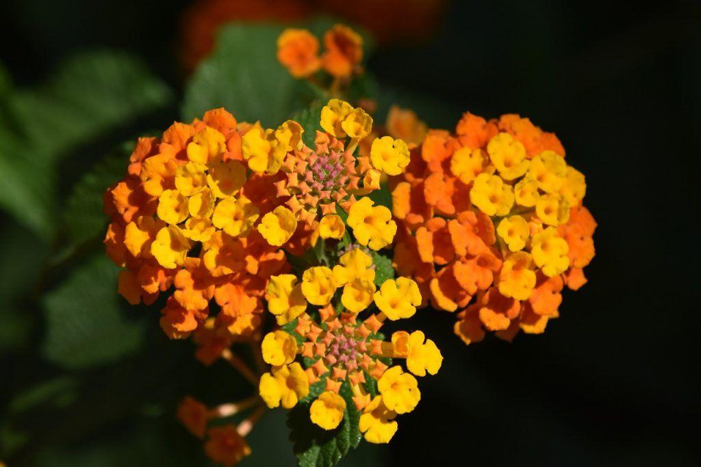 Lantana como planta resistente en el exterior
