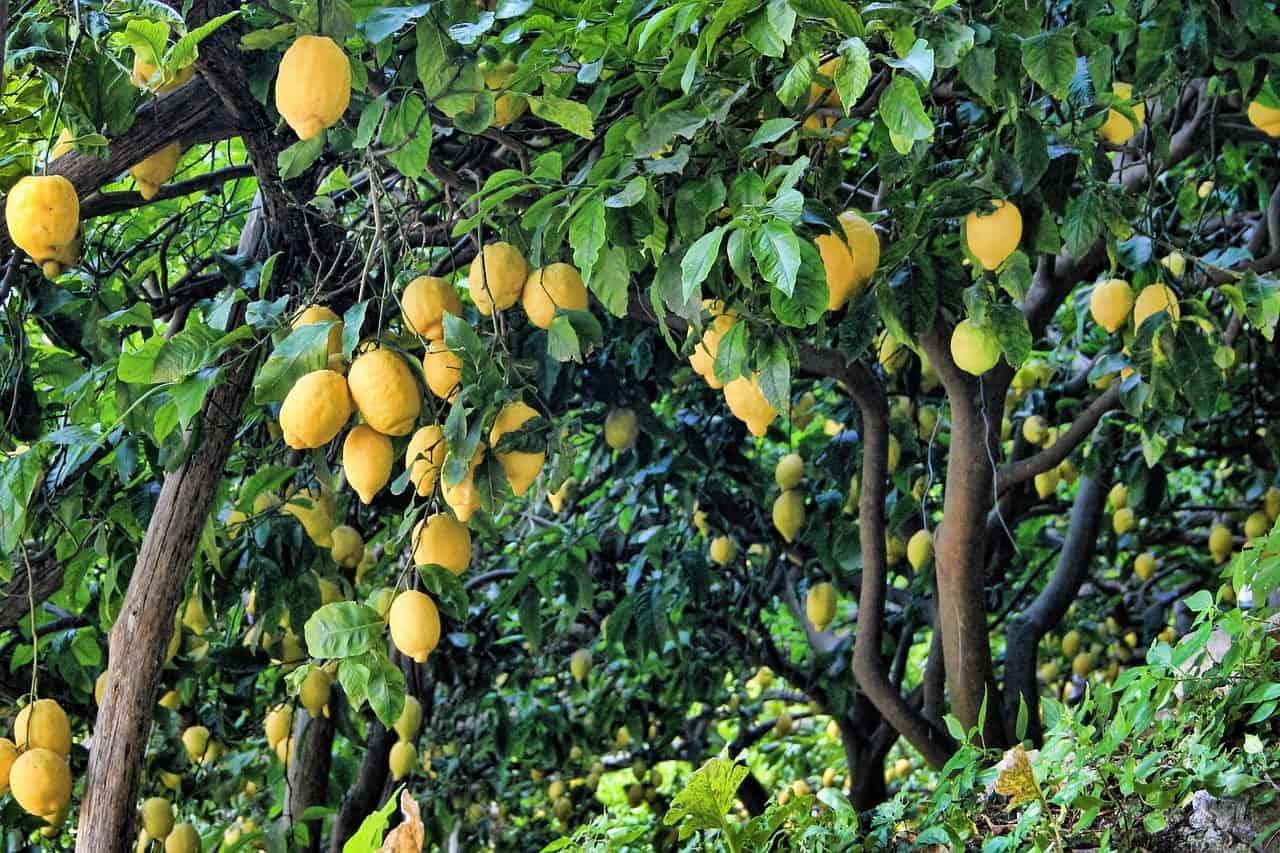 Limonero hojas perennes