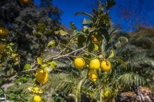 Cómo cosechar los limones