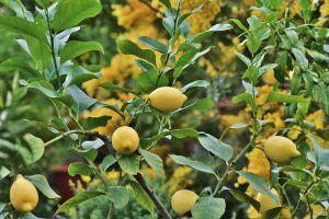 Cómo podar los limoneros sin dañar el árbol