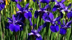 Cuándo se cultiva un Lirio Azul