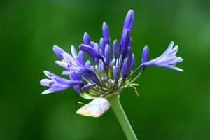Bulbos de Lirio Azul
