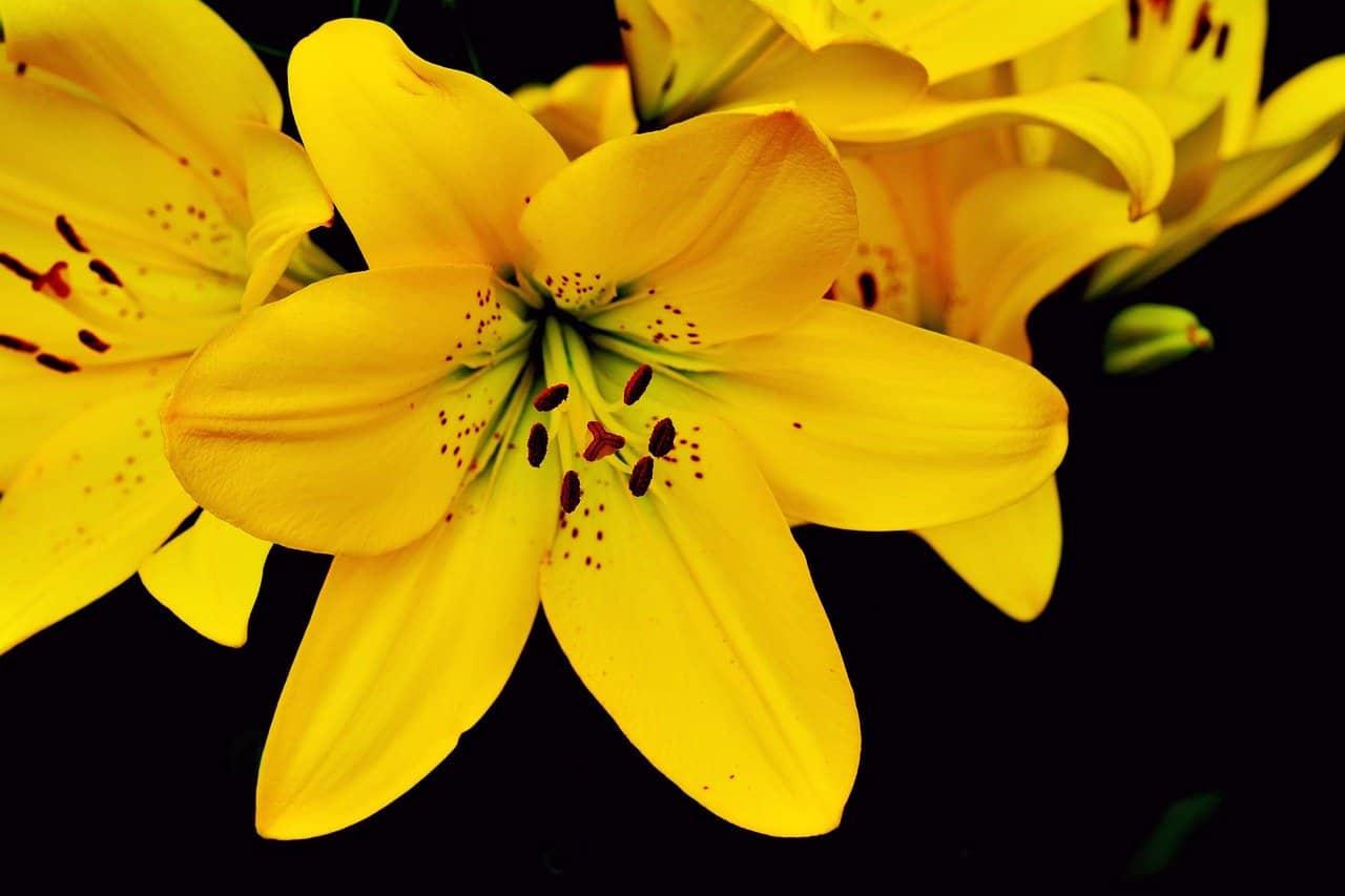 Lirios amarillos
