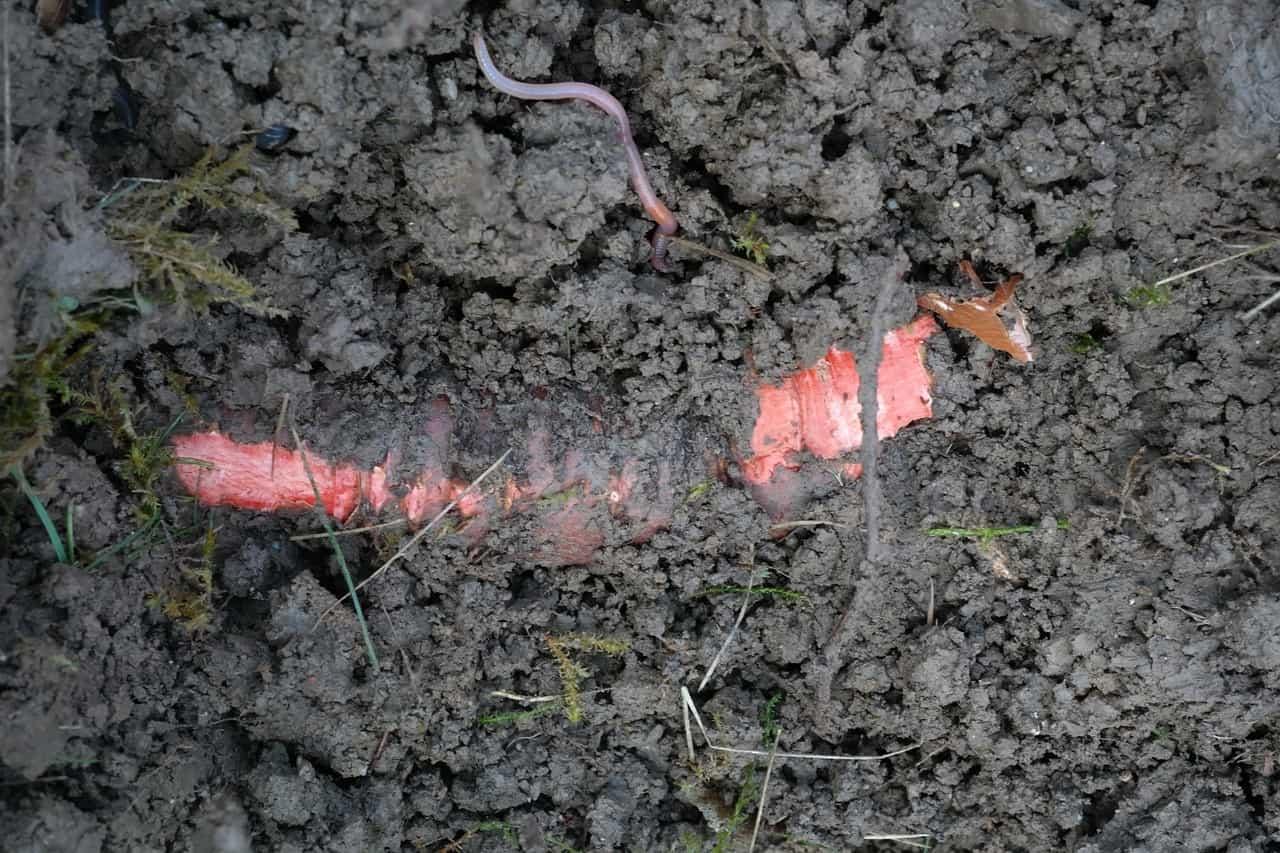 lombriz roja