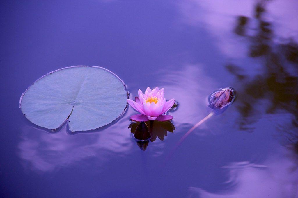 Cuidados de la flor de loto