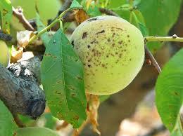 mancha bacteriana del almendro plagas y enfermedades