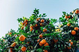 Cuándo es mejor llevar a cabo la poda de mandarino