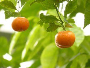 Poda de fructificación del mandarino