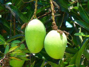 Cada cuánto debemos podar el mango