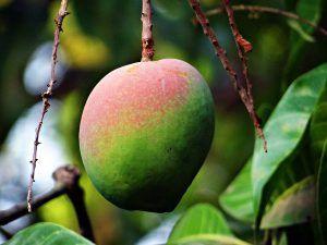 Riego del Mango