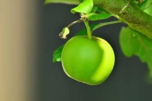 abonar un manzano