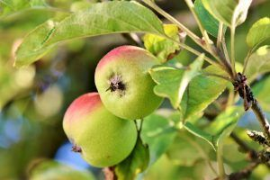 Cómo podemos detectar falta de riego en el manzano