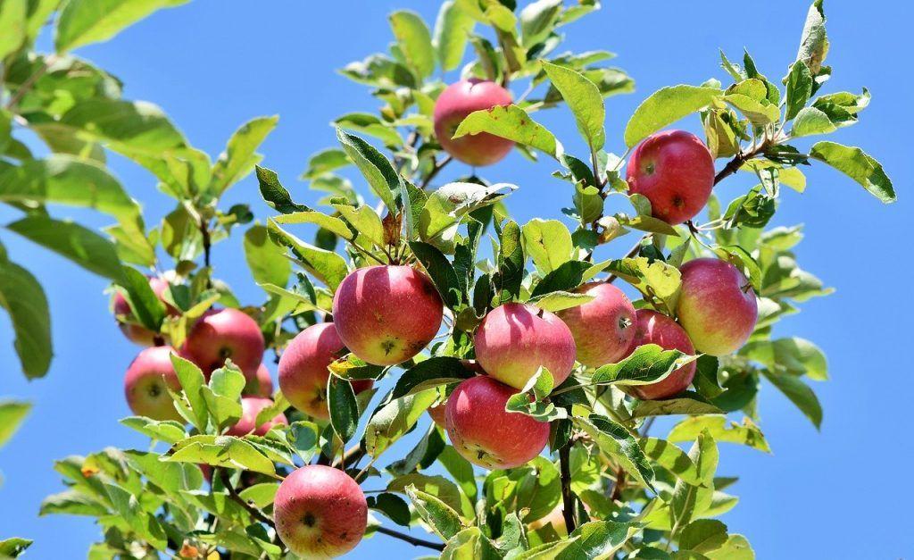 tipos de árboles manzano