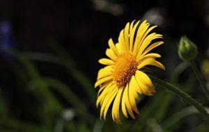 Flor margarita amarilla