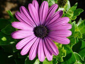 Flor margarita violeta