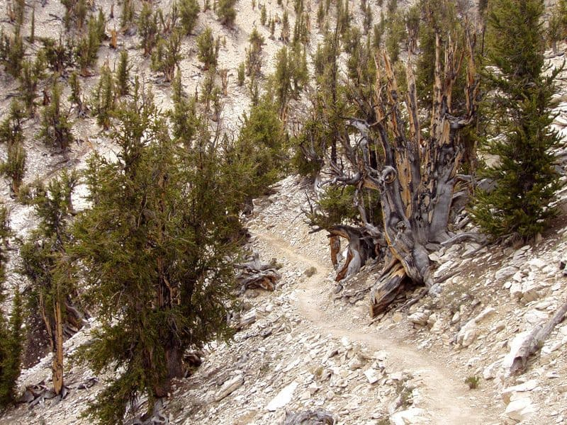 matusalén el primero o segundo árbol más antiguo de la historia