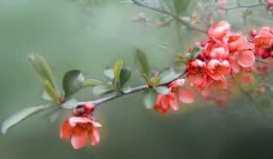 ¿Dónde debemos sembrar el árbol de membrillo?