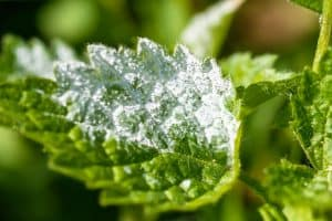 Por qué utilizar un fungicida natural