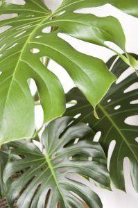 Cómo podar las monsteras sin dañar la planta