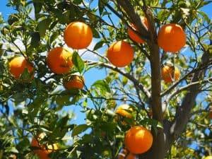 naranjo hoja perenne