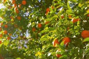 ¿Cómo preparar la tierra para el cultivo de naranjos?