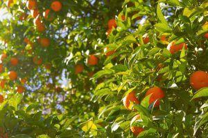 Cómo debemos tomar los esquejes de naranjo para sembrarlos