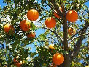 Riego de Naranjos por Goteo