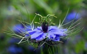 ¿Qué es la planta Nigella Sativa?