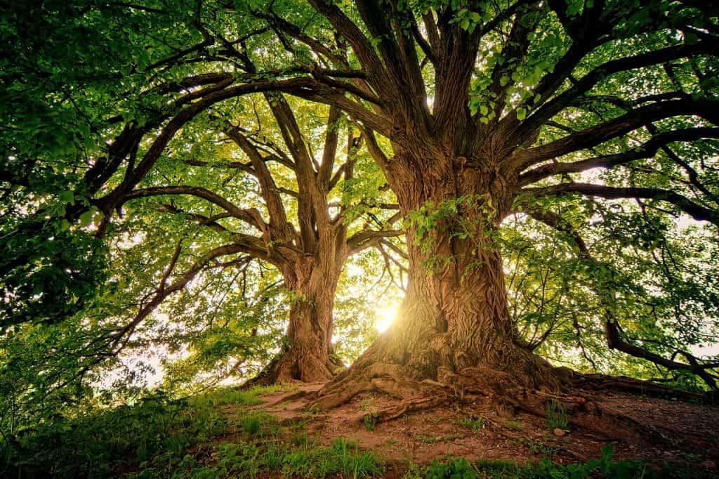 cuál es el árbol más antiguo del mundo