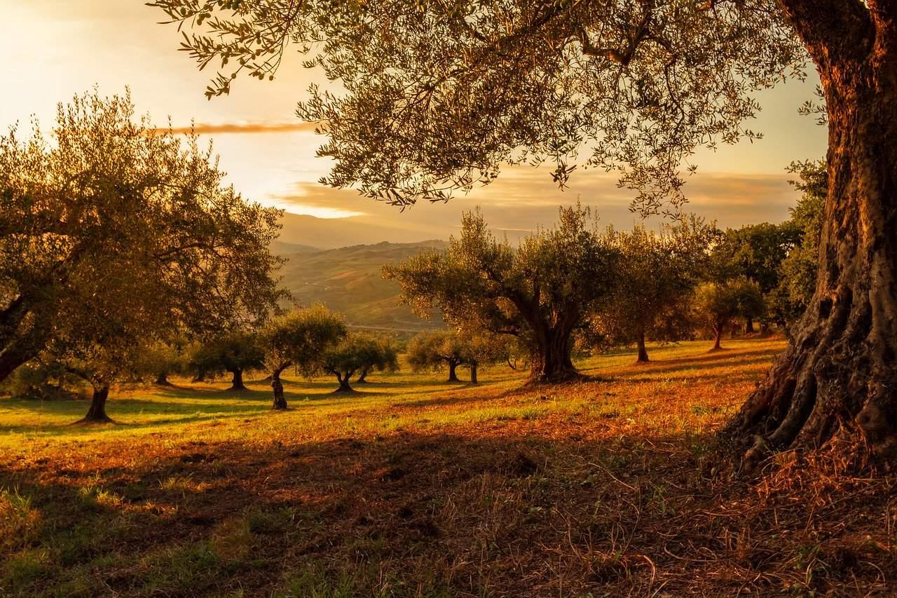 cómo abonar el olivo
