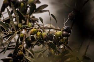 el abonado del olivo
