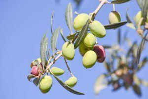 Cómo podar los olivos sin dañar el árbol