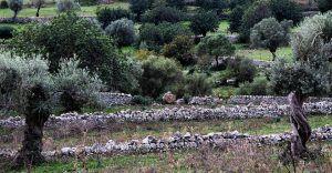 olivos plantados