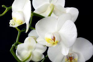 Flores tropicales - Orquídea