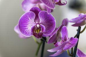 Plagas y enfermedades de la orquídea