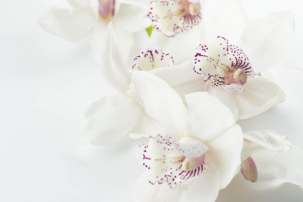 Orquídeas flores blancas