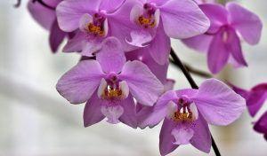 Variedades de Orquídeas