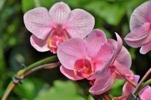 Esquejes de Orquídeas